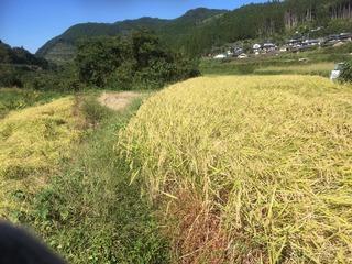 1026稲刈り開始.jpg