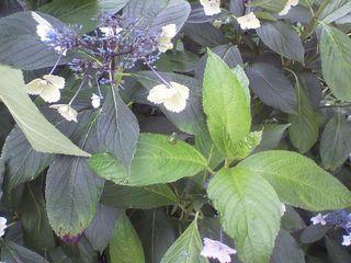 626蛙と紫陽花.jpg