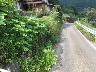 829石垣のお茶の木.jpg